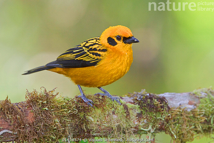 Golden Tanager (Tangara arthus) perched on a branch at the Mindo Loma Reserve, Ecuador.  ,  BIRDS,COPYSPACE,CUTOUT,PORTRAITS,PROFILE,SONGBIRDS,SOUTH AMERICA,TANAGERS,THRAUPIDAE,VERTEBRATES,YELLOW  ,  Visuals Unlimited