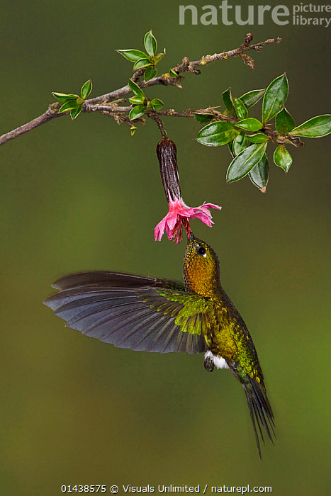 Golden breasted Puff leg (Eriocnemis mosquera) hovering and feeding at a red, tubular flower at the Yanacocha Reserve near Quito, Ecuador.  ,  ACTION,BIRDS,FEEDING,FLIGHT,FLOWERS,FLYING,HOVERING,HUMMINGBIRDS,IRRIDESCENT,PLANTS,PORTRAITS,PROFILE,SOUTH AMERICA,VERTEBRATES,VERTICAL  ,  Visuals Unlimited
