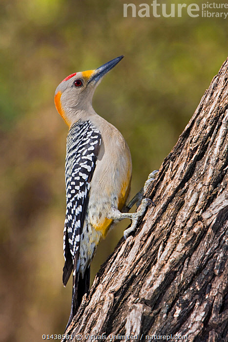 Golden fronted Woodpecker (Melanerpes aurifrons) perched on a branch in South Texas, USA.  ,  BIRDS,COPYSPACE,CUTOUT,NORTH AMERICA,PORTRAITS,PROFILE,USA,VERTEBRATES,VERTICAL,WOODPECKERS  ,  Visuals Unlimited