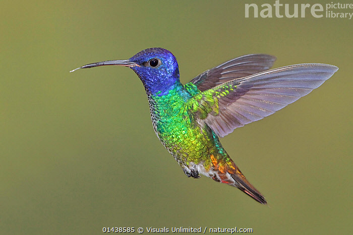 Golden-tailed Sapphire (Chrysuronia oenone) flying, Wildsumaco Reserve, Ecuador.  ,  BIRDS,COLOURFUL,COPYSPACE,CUTOUT,FLIGHT,FLYING,HOVERING,HUMMINGBIRDS,IRRIDESCENT,PLUMAGE,PORTRAITS,PROFILE,SOUTH AMERICA,TROCHILIDAE,VERTEBRATES  ,  Visuals Unlimited
