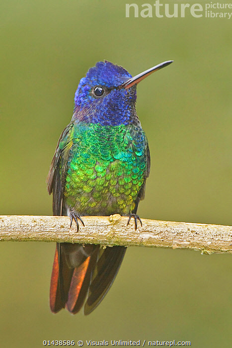 Golden-tailed Sapphire (Chrysuronia oenone) male perched on a branch, Wildsumaco Reserve, Ecuador.  ,  BIRDS,COLOURFUL,COPYSPCE,CUTOUT,HUMMINGBIRDS,IRRIDESCENT,MALES,PLUMAGE,PORTRAITS,PROFILE,SOUTH AMERICA,TROCHILIDAE,VERTEBRATES,VERTICAL  ,  Visuals Unlimited