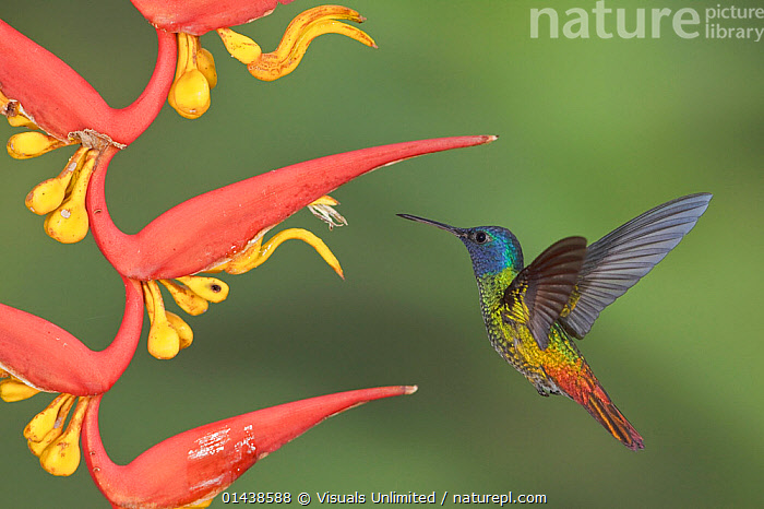 Golden-tailed Sapphire (Chrysuronia oenone) male hovering at a flower, Wildsumaco Reserve, Ecuador.  ,  ACTION,BEHAVIOUR,BIRDS,FLIGHT,FLOWERS,FLYING,HELICONIA,HOVERING,HUMMINGBIRDS,IRRIDESCENT,MALES,PLANTS,PORTRAITS,PROFILE,SOUTH AMERICA,TROCHILIDAE,TROPICS,VERTEBRATES  ,  Visuals Unlimited