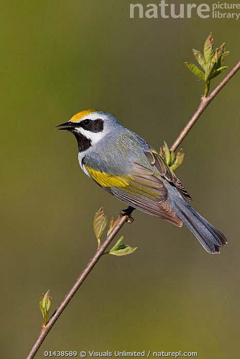 Golden winged Warbler (Vermivora chrysoptera) male singing from a branch, Ontario, Canada.  ,  BIRDS,CALLING,CANADA,COMMUNICATION,COPYSPACE,CUTOUT,MALES,NORTH AMERICA,PARULIDAE,PORTRAITS,PROFILE,SINGING,SONGBIRDS,VERTEBRATES,VERTICAL,VOCALISATION,WARBLERS  ,  Visuals Unlimited