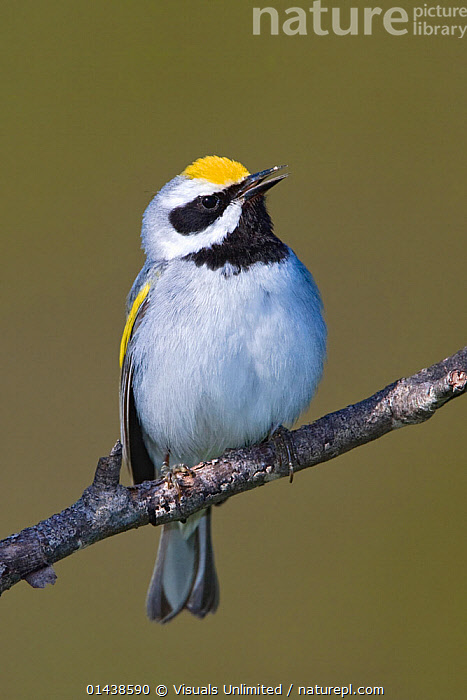Golden winged Warbler (Vermivora chrysoptera) male singing, perched a branch, Ontario, Canada.  ,  BIRDS,CALLING,CANADA,COMMUNICATION,COPYSPACE,CUTOUT,MALES,NORTH AMERICA,PARULIDAE,PORTRAITS,PROFILE,SINGING,SONGBIRDS,VERTEBRATES,VERTICAL,VOCALISATION,WARBLERS  ,  Visuals Unlimited