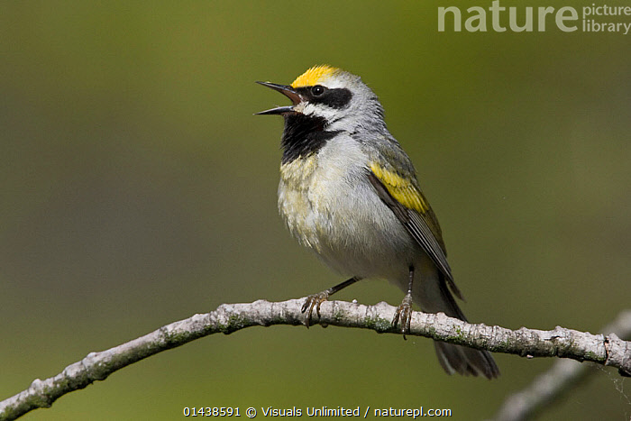 Golden-winged Warbler (Vermivora chrysoptera) male singing on a branch, Ontario, Canada.  ,  BIRDS,CALLING,CANADA,COMMUNICATION,COPYSPACE,CUTOUT,MALES,NORTH AMERICA,PARULIDAE,PORTRAITS,PROFILE,SINGING,SONGBIRDS,VERTEBRATES,VOCALISATION,WARBLERS  ,  Visuals Unlimited