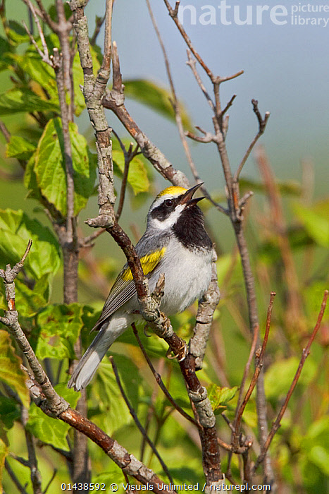 Golden winged Warbler (Vermivora chrysoptera) male singing on a branch, Ontario, Canada.  ,  BIRDS,CALLING,CANADA,COMMUNICATION,MALES,NORTH AMERICA,PARULIDAE,PORTRAITS,PROFILE,SINGING,SONGBIRDS,VERTEBRATES,VOCALISATION,WARBLERS  ,  Visuals Unlimited