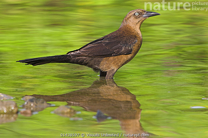Boat tailed Grackle (Quiscalus major) in water, Costa Rica.  ,  BIRDS,BLACKBIRDS,CENTRAL AMERICA,GRACKLES,ICTERIDAE,PORTRAITS,PROFILE,SONGBIRDS,VERTEBRATES,WATER  ,  Visuals Unlimited