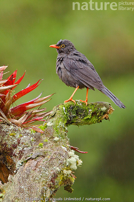 Great thrush (Turdus fuscater) perched on a branch, Papallacta Pass, the highlands of central Ecuador.  ,  Animal,Vertebrate,Birds,Songbird,Thrush,True thrush,Great thrush,Animalia,Animal,Wildlife,Vertebrate,Chordate,Aves,Birds,Passeriformes,Songbird,Passerine,Turdidae,Thrush,Turdus,True thrush,Latin America,South America,Ecuador,Copy Space,Profile,Side View,Portrait,Negative space,Turdus fuscater,Great thrush  ,  Visuals  Unlimited