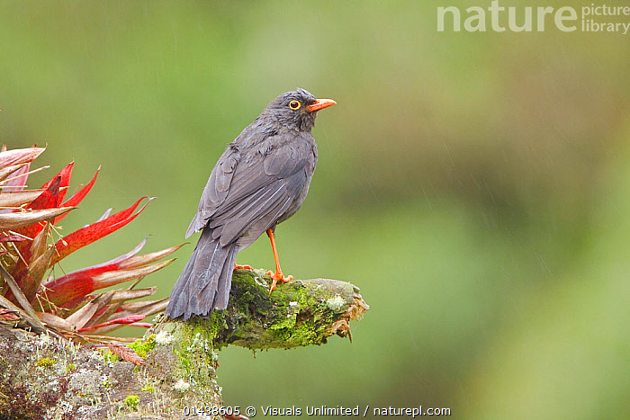 Great thrush (Turdus fuscater) perched on a branch, Papallacta Pass, the highlands of central Ecuador.  ,  Animal,Vertebrate,Birds,Songbird,Thrush,True thrush,Great thrush,Animalia,Animal,Wildlife,Vertebrate,Chordate,Aves,Birds,Passeriformes,Songbird,Passerine,Turdidae,Thrush,Turdus,True thrush,Latin America,South America,Ecuador,Copy Space,Portrait,Negative space,Turdus fuscater,Great thrush  ,  Visuals  Unlimited