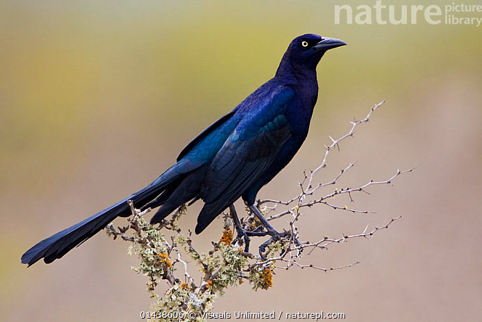 Great tailed Grackle (Quiscalus mexicanus) perched on a branch in South Texas, USA.  ,  BIRDS,BLACK,BLACKBIRDS,COPYSPACE,GRACKLES,ICTERIDAE,IRRIDESCENT,NORTH AMERICA,PORTRAITS,PROFILE,SONGBIRDS,USA,VERTEBRATES  ,  Visuals Unlimited