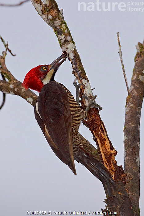 Guayaquil Woodpecker (Campephilus gayaquilensis) searching for grabs in tree in the Milpe Reserve, Ecuador.  ,  BEHAVIOUR,BIRDS,FEEDING,PICIDAE,PROBING,PROFILE,SOUTH AMERICA,TREES,VERTEBRATES,VERTICAL,WOODPECKERS,PLANTS  ,  Visuals Unlimited