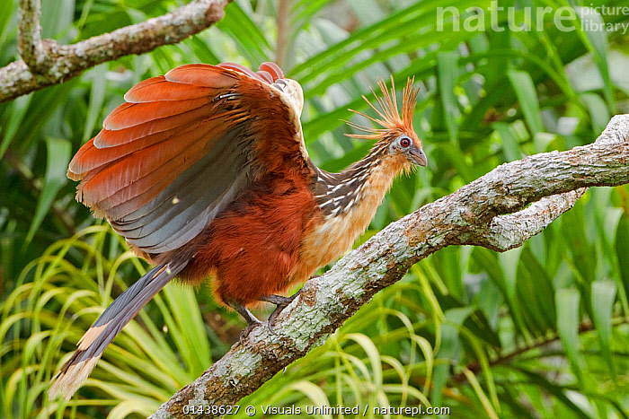 Hoatzin (Opisthocomus hoazin) just landed on a branch, Napo River in Amazonian Ecuador.  ,  AMAZON,BIRDS,FLAPPING,HOATZINS,LANDING,PORTRAITS,PROFILE,SOUTH AMERICA,TAKING OFF,VERTEBRATES,WINGS  ,  Visuals Unlimited