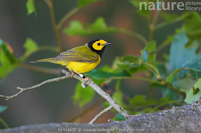 Hooded Warbler (Setophaga / Wilsonia citrina) perched on a branch, Ontario, Canada.  ,  BIRDS,CANADA,MALES,NORTH AMERICA,PARULIDAE,PROFILE,SONGBIRDS,VERTEBRATES,WARBLERS  ,  Visuals Unlimited