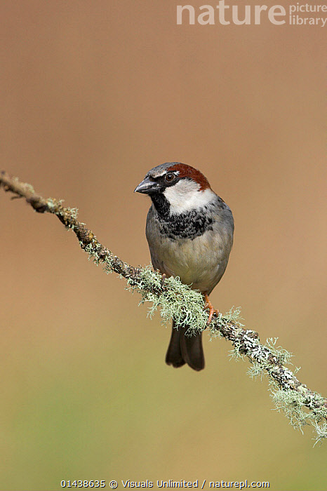 House Sparrow (Passer domesticus) male perched on a branch in Victoria, British Columbia, Canada.  ,  BIRDS,CANADA,COPYSPACE,CUTOUT,MALES,NORTH AMERICA,PASSERIDAE,PORTRAITS,PROFILE,SONGBIRDS,SPARROWS,VERTEBRATES,VERTICAL  ,  Visuals Unlimited
