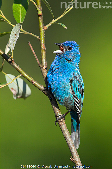Lazuli Bunting (Passerina amoena) male singing from a branch, Ontario, Canada.  ,  BIRDS,BLUE,BUNTINGS,CALLING,CANADA,COMMUNICATION,CUTOUT,EMBERIZIDAE,MALES,NORTH AMERICA,PORTRAITS,PROFILE,SINGING,SONGBIRDS,VERTEBRATES,VERTICAL,VOCALISATION  ,  Visuals Unlimited