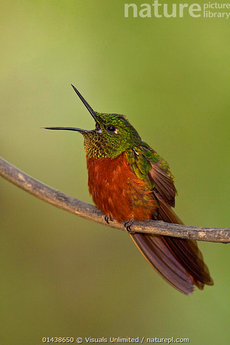 Chestnut breasted Coronet (Boissonneaua matthewsii) male singing on a branch, Ecuador.  ,  BIRDS,CALLING,COMMUNICATION,COPYSPACE,CUTOUT,HUMMINGBIRDS,MALES,PORTRAITS,PROFILE,SINGING,SOUTH AMERICA,VERTEBRATES,VERTICAL,VOCALISATION  ,  Visuals Unlimited