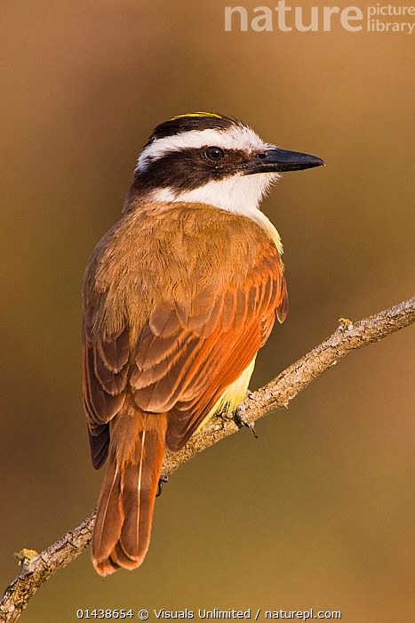 Great Kiskadee (Pitangus sulphuratus) perched on a branch in South Texas, USA.  ,  BIRDS,COPYSPACE,CUTOUT,FLYCATCHERS,NORTH AMERICA,PORTRAITS,PROFILE,REAR,SONGBIRDS,TYRANNIDAE,USA,VERTEBRATES,VERTICAL  ,  Visuals Unlimited