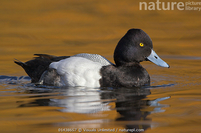 Lesser Scaup (Aythya affinis) male swimming in a lagoon in Victoria, British Columbia, Canada.  ,  BIRDS,CANADA,DRAKE,DUCKS,MALES,NORTH AMERICA,PORTRAITS,PROFILE,SWIMMING,VERTEBRATES,WATER,WATERFOWL  ,  Visuals Unlimited
