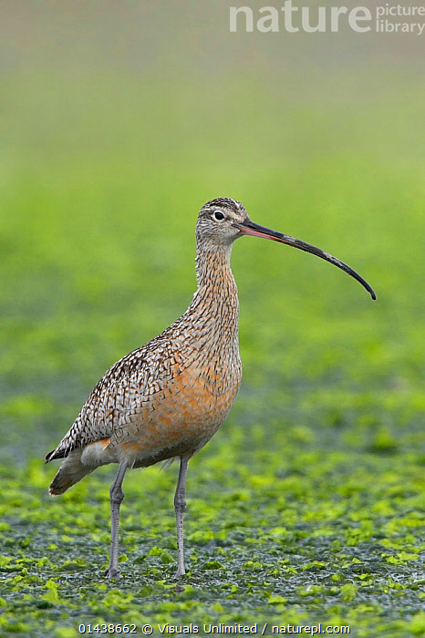 Long billed Curlew (Numenius americanus) in shallow water, Victoria, British Columbia, Canada.  ,  BEAKS,BILLS,BIRDS,CANADA,CURLEWS,NORTH AMERICA,PORTRAITS,PROFILE,VERTEBRATES,VERTICAL,WADERS,WADING,WATER,WETLANDS,Plovers  ,  Visuals Unlimited