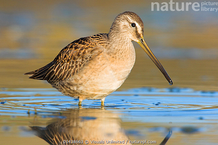 Long-billed Dowitcher (Limnodromus scolopaceus) feeding in shallow water, Victoria, British Columbia, Canada.  ,  BIRDS,CANADA,NORTH AMERICA,PORTRAITS,PROFILE,SNIPE,VERTEBRATES,WADERS,WATER,WETLANDS  ,  Visuals Unlimited