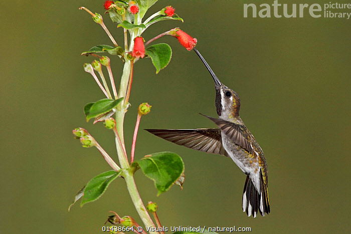 Long billed Starthroat (Heliomaster longirostris) hovering and feeding at a red, tubular flower, Ecuador.  ,  ACTION,BIRDS,FEEDING,FLIGHT,FLOWERS,FLYING,HOVERING,HUMMINGBIRDS,PLANTS,PROFILE,SOUTH AMERICA,VERTEBRATES  ,  Visuals Unlimited