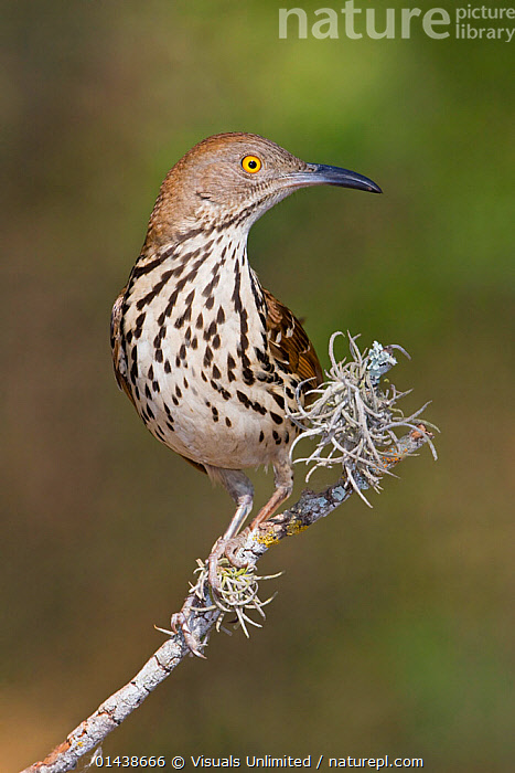 Long billed Thrasher (Toxostoma longirostre) perched on a branch, South Texas, USA.  ,  BIRDS,COPYSPACE,MIMIDAE,NORTH AMERICA,PORTRAITS,PROFILE,SONGBIRDS,THRASHERS,USA,VERTEBRATES,VERTICAL  ,  Visuals Unlimited