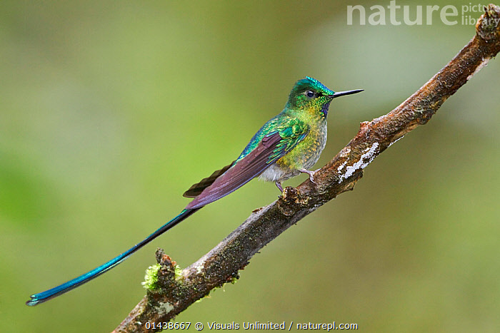 Long tailed Sylph (Aglaiocercus kingi) male perched on a branch, Papallacta Pass in the highlands of central Ecuador.  ,  BIRDS,COPYSPACE,HUMMINGBIRDS,IRRIDESCENT,MALES,PORTRAITS,PROFILE,SOUTH AMERICA,TAILS,VERTEBRATES  ,  Visuals Unlimited