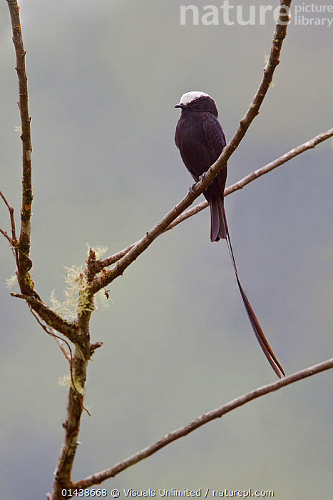 Long-tailed Tyrant (Colonia colonus) male perched on a branch, Podocarpus National Park, Ecuador.  ,  BIRDS,COPYSPACE,MALES,NATIONAL PARK,NP,RESERVE,SONGBIRDS,SOUTH AMERICA,TAILS,TYRANNIDAE,TYRANT FLYCATCHERS,VERTEBRATES,VERTICAL  ,  Visuals Unlimited