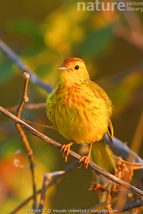 Mangrove or Yellow Warbler (Setophaga / Dendroica petechia) perched on a branch near the coast of Ecuador.  ,  BIRDS,COPYSPACE,PARULIDAE,PORTRAITS,SONGBIRDS,SOUTH AMERICA,VERTEBRATES,VERTICAL,WARBLERS  ,  Visuals Unlimited
