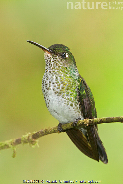 Many-spotted Hummingbird (Taphrospilus hypostictus) perched on a branch, Wildsumaco Reserve, Ecuador.  ,  BIRDS,COPYSPACE,CUTOUT,HUMMINGBIRDS,PORTRAITS,PROFILE,SOUTH AMERICA,TROCHILIDAE,VERTEBRATES,VERTICAL  ,  Visuals Unlimited
