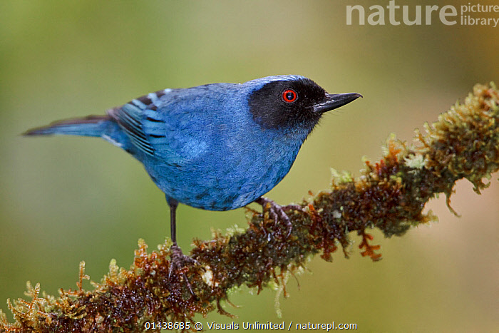 Masked Flowerpiercer (Diglossopis cyanea) perched on a branch, Tapichalaca Reserve, Ecuador.  ,  BIRDS,COPYSPACE,CUTOUT,MALES,PASSERINES,PORTRAITS,PROFILE,SONGBIRDS,SOUTH AMERICA,THRAUPIDAE,VERTEBRATES  ,  Visuals Unlimited