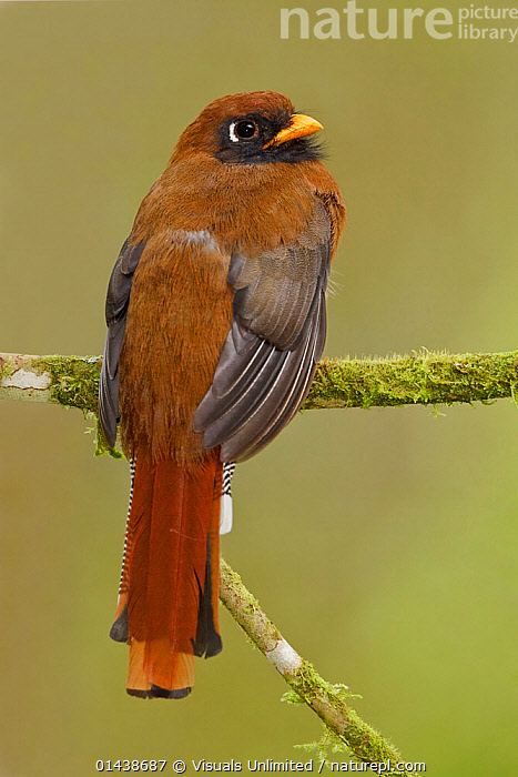 Masked Trogon (Trogon personatus assimilis) rear view perched on a branch, Tandayapa Valley, Ecuador.  ,  BIRDS,COPYSPACE,CUTOUT,PORTRAITS,REAR,SOUTH AMERICA,TROGONS,VERTEBRATES,VERTICAL  ,  Visuals Unlimited