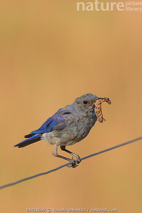 Mountain Bluebird (Sialia currucoides) sitting on a wire fence with an insect larva in its bill in the grasslands of Canada.  ,  BIRDS,CANADA,COPYSPACE,CUTOUT,FEEDING,INSECTS,NORTH AMERICA,PORTRAITS,PREY,PROFILE,SONGBIRDS,TURDIDAE,VERTEBRATES,VERTICAL,Invertebrates  ,  Visuals Unlimited
