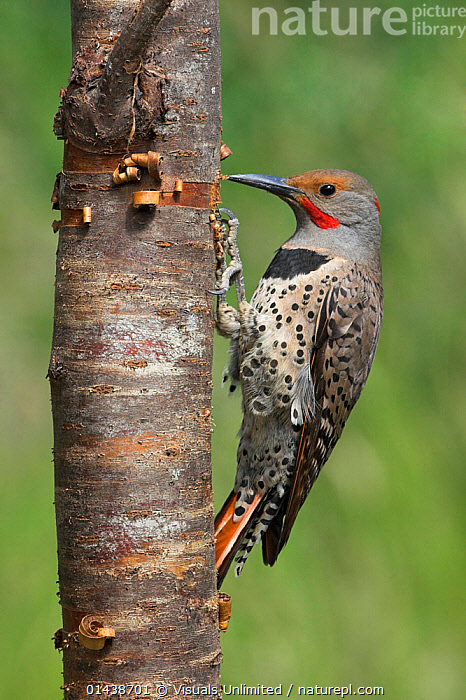 Northern Flicker (Colaptes auratus) perched on a tree trunk, Victoria, British Columbia, Canada.  ,  ACTION,BEHAVIOUR,BIRDS,CANADA,HAMMERING,NORTH AMERICA,PECKING,PORTRAITS,PROFILE,VERTEBRATES,VERTICAL,WOODPECKERS  ,  Visuals Unlimited