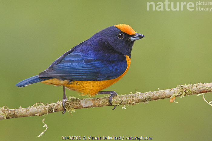 Orange-bellied Euphonia (Euphonia xanthogaster) perched on a branch, Mindo Loma Reserve, Ecuador.  ,  BIRDS,COPYSPACE,CUTOUT,IRRIDESCENT,MALES,PORTRAITS,PROFILE,SONGBIRDS,SOUTH AMERICA,TANAGERS,THRAUPIDAE,VERTEBRATES  ,  Visuals Unlimited