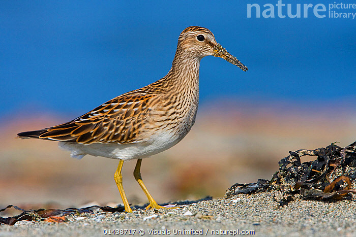 Pectoral Sandpiper (Calidris melanotos) feeds along the shoreline, Victoria, British Columbia, Canada.  ,  BIRDS,COASTS,CUTOUT,FEEDING,INSECTS,NORTH AMERICA,PORTRAITS,PROFILE,SANDPIPERS,VERTEBRATES,WADERS,Invertebrates  ,  Visuals Unlimited