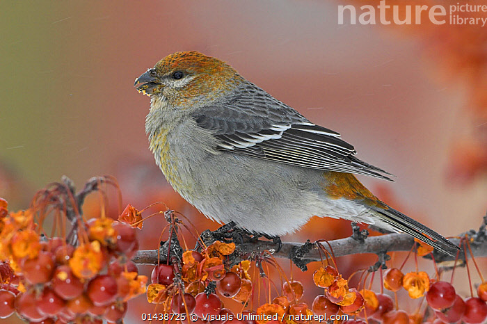 Pine Grosbeak (Pinicola enucleator) female perched on a branch eating Crabapples, Ontario, Canada.  ,  BIRDS,CANADA,FEEDING,FEMALES,FINCHES,FRINGILLIDAE,NORTH AMERICA,PORTRAITS,PROFILE,SONGBIRDS,VERTEBRATES  ,  Visuals Unlimited