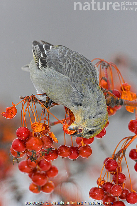 Pine Grosbeak (Pinicola enucleator) female perched on a branch eating Crabapples, Ontario, Canada.  ,  BERRIES,BIRDS,CANADA,FEEDING,FEMALES,FINCHES,FRINGILLIDAE,NORTH AMERICA,PROFILE,SONGBIRDS,VERTEBRATES,VERTICAL,WINTER  ,  Visuals Unlimited