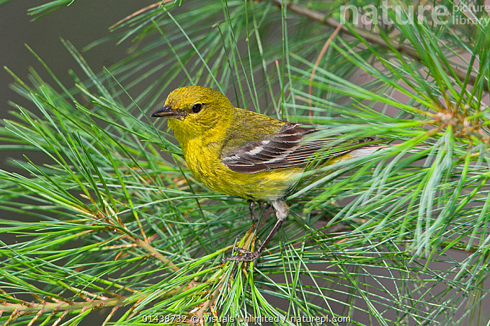 Pine Warbler (Dendroica pinus) perched on a Pine branch, Ontario, Canada.  ,  BIRDS,CANADA,NORTH AMERICA,PARULIDAE,PINE,PORTRAITS,PROFILE,SONGBIRDS,VERTEBRATES,WARBLERS  ,  Visuals Unlimited