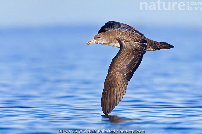 Pink footed Shearwater (Puffinus creatopus) flying over the ocean, Victoria, British Columbia, Canada.  ,  BIRDS,CANADA,COPYSPACE,CUTOUT,ENDANGERED,FLIGHT,FLYING,MARINE,NORTH AMERICA,PORTRAITS,PROCELLARIDAE,PROFILE,SEA,SEABIRDS,SHEARWATERS,SURFACE,VERTEBRATES,VULNERABLE  ,  Visuals Unlimited