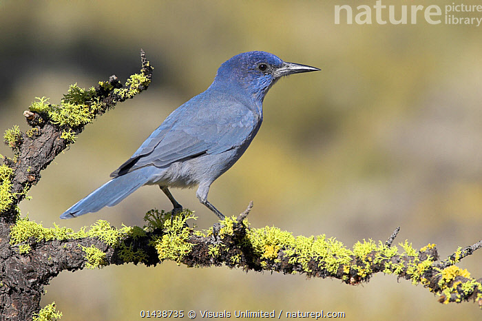 Pinyon Jay (Gymnorhinus cyanocephalus) perched on a branch, Oregon, USA.  ,  BIRDS,COPYSPACE,CORVIDAE,CUTOUT,JAYS,NORTH AMERICA,PORTRAITS,PROFILE,SONGBIRDS,USA,VERTEBRATES,VULNERABLE  ,  Visuals Unlimited