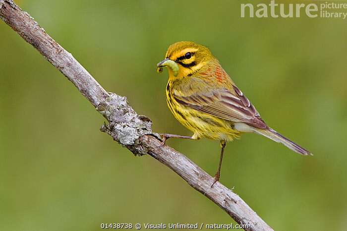 Prairie Warbler (Setophaga / Dendroica discolor) perched on a branch with a caterpillar in its bill, Ontario, Canada.  ,  BIRDS,CANADA,COPYSPACE,CUTOUT,FEEDING,INSECTS,NORTH AMERICA,PARULIDAE,PORTRAITS,PREY,PROFILE,SONGBIRDS,VERTEBRATES,WARBLERS,Invertebrates  ,  Visuals Unlimited
