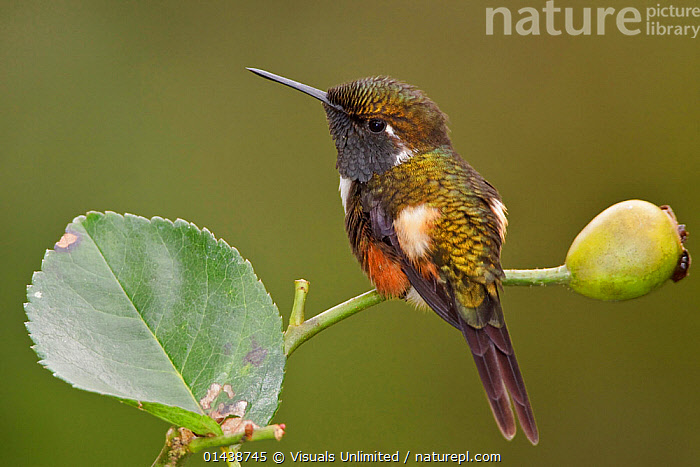 Purple throated Woodstar Hummingbird (Calliphlox mitchellii) perched on a branch, Tandayapa Valley, Ecuador.  ,  BIRDS,HUMMINGBIRDS,IRRIDESCENT,PORTRAITS,PROFILE,SOUTH AMERICA,VERTEBRATES  ,  Visuals Unlimited