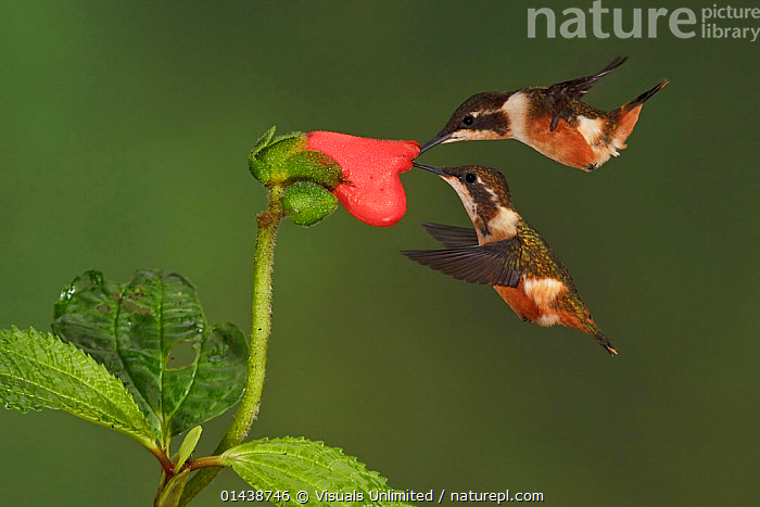 Purple throated Woodstar Hummingbirds (Calliphlox mitchellii) hovering and feeding at a red tubular flower, Tandayapa Valley, Ecuador.  ,  BIRDS,FEEDING,FLIGHT,FLOWERS,FLYING,HOVERING,HUMMINGBIRDS,IRRIDESCENT,PLANTS,PORTRAITS,PROFILE,SOUTH AMERICA,TWO,VERTEBRATES  ,  Visuals Unlimited