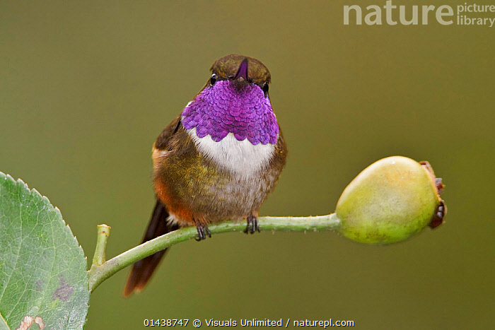 Purple throated Woodstar Hummingbird (Calliphlox mitchellii) perched on a branch, Tandayapa Valley, Ecuador.  ,  BIRDS,COPYSPACE,CUTOUT,HUMMINGBIRDS,IRRIDESCENT,LOOKING AT CAMERA,PLUMAGE,PORTRAITS,SOUTH AMERICA,VERTEBRATES  ,  Visuals Unlimited