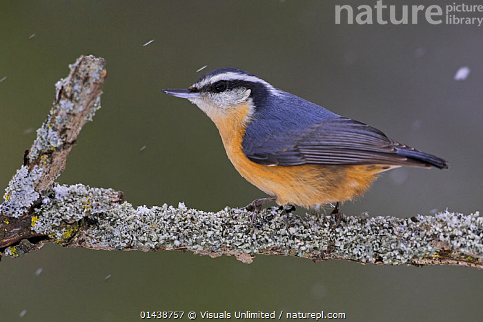 Red-breasted Nuthatch (Sitta canadensis) perches on a branch in falling snow, Toronto, Ontario, Canada.  ,  BIRDS,CANADA,NORTH AMERICA,NUTHATCHES,PORTRAITS,PROFILE,SITTIDAE,SNOW,SNOWFALL,SNOWING,SONGBIRDS,VERTEBRATES  ,  Visuals Unlimited