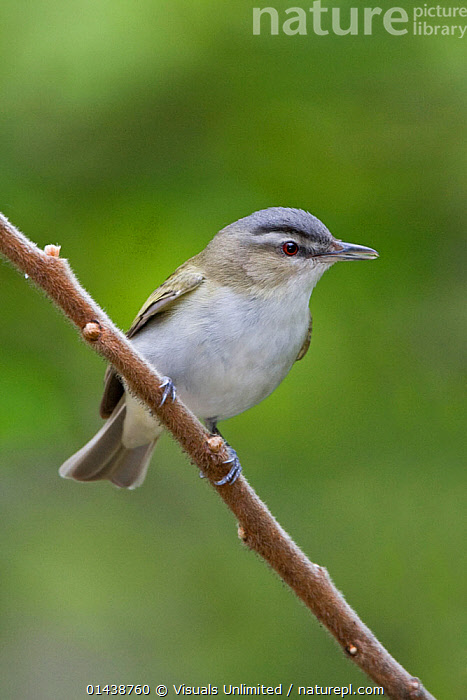 Red eyed Vireo (Vireo olivaceus) perched on a branch, Ontario, Canada.  ,  BIRDS,CANADA,COPYSPACE,CUTOUT,NORTH AMERICA,PORTRAITS,PROFILE,SONGBIRDS,VERTEBRATES,VERTICAL,VIREONIDAE,VIREOS  ,  Visuals Unlimited