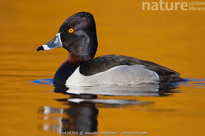 Ring necked Duck (Aythya collaris) male swimming on a golden pond in Victoria, British Columbia, Canada.  ,  BIRDS,CANADA,COPYSPACE,DRAKE,DUCKS,MALES,NORTH AMERICA,PORTRAITS,PROFILE,VERTEBRATES,WATER,WATERFOWL  ,  Visuals Unlimited