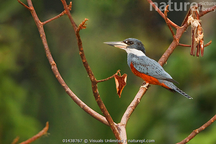 Ringed Kingfisher (Megaceryle torquata) perched on a branch near the Napo River, Amazonian Ecuador.  ,  ALCEDINIDAE,AMAZON,BIRDS,CERYLE TORQUATA,KINGFISHERS,PORTRAITS,PROFILE,SOUTH AMERICA,TREES,VERTEBRATES,PLANTS  ,  Visuals Unlimited