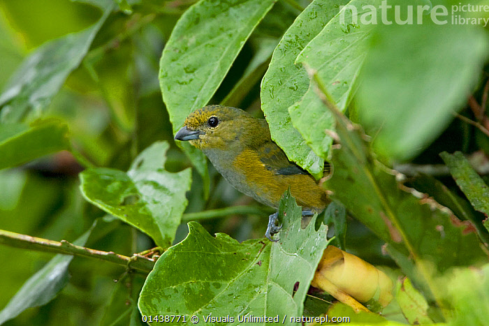 Rufous-bellied Euphonia (Euphonia rufiventris) perched on a branch near the Napo River in Amazonian Ecuador.  ,  AMAZON,BIRDS,CAMOUFLAGE,GREEN,LEAVES,PLANTS,PROFILE,SONGBIRDS,SOUTH AMERICA,TANAGERS,THRAUPIDAE,VERTEBRATES  ,  Visuals Unlimited